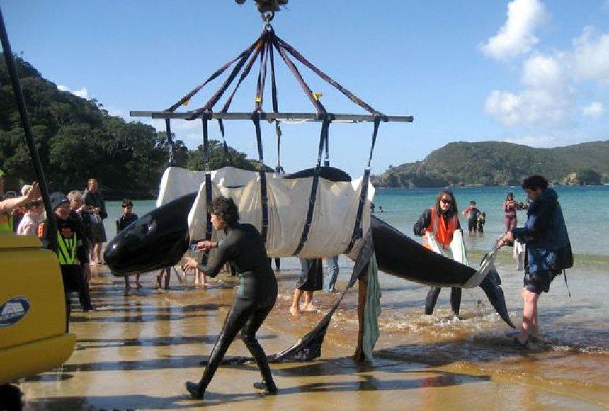 Naujojoje Zelandijoje gelbėti tenka ne tik delfinus – banginiai taip pat išplaukia į sausumą.