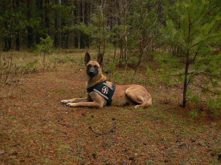 Pasieniečių tarnybinis šuo, belgų aviganis Hercas