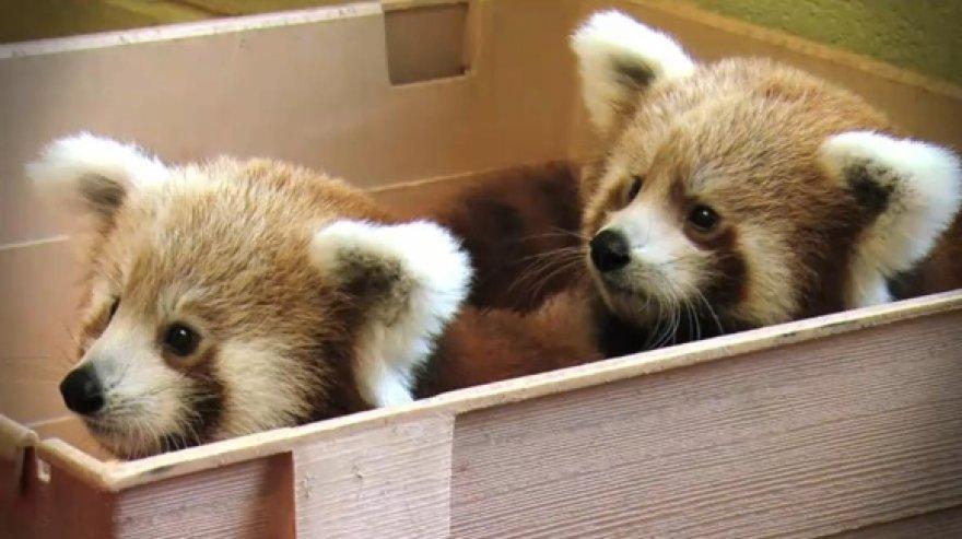 """""""Mozilla"""" globojamos mažosios pandos."""