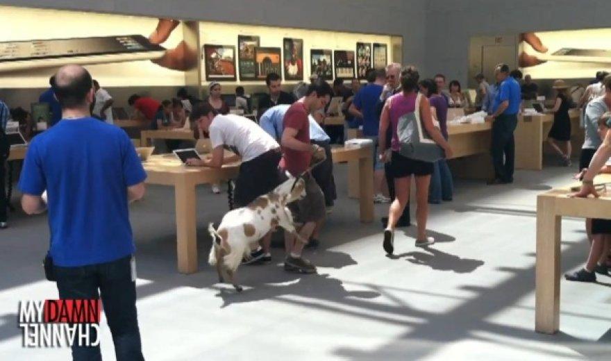 """Komikas Markas Malkoffas į """"Apple Store"""" parduotuvę atsivedė ožką."""