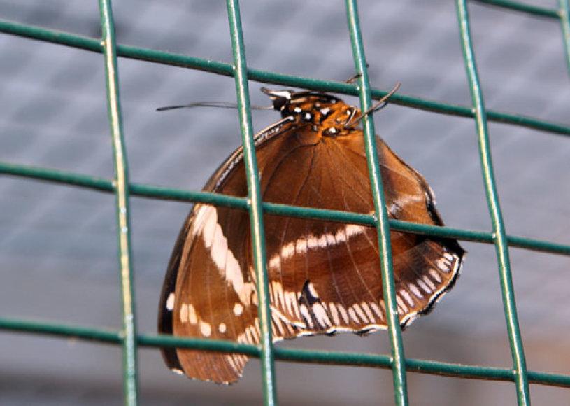 Kauno botanikos sode naujovė – drugelių lėliukių, kurios jau pradėjo nertis, kolekcija