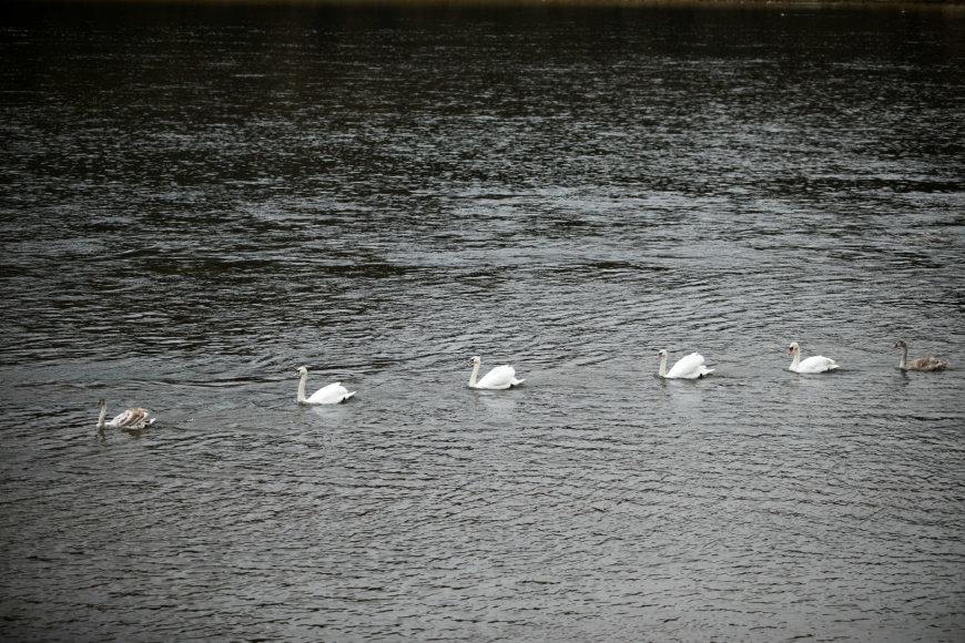 Eriko Ovčarenko / 15min nuotr./Nemune ties Kaunu būriuojasi paukščiai