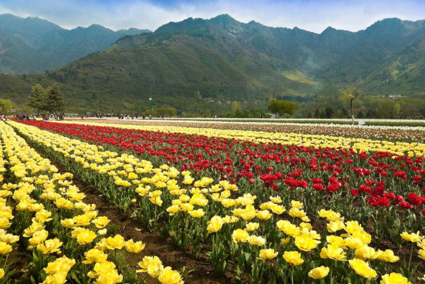 Shutterstock.com/Kašmyro (Indija) tulpių laukai