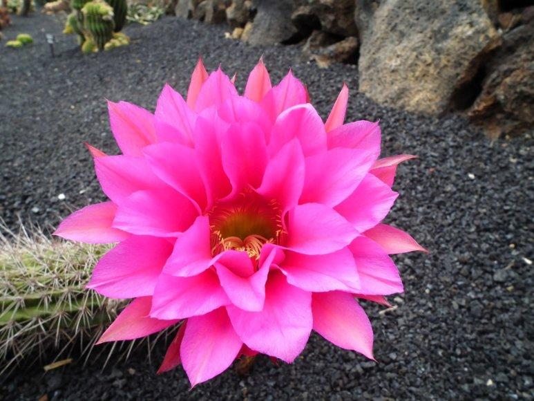 123rf.com nuotr./Žydintis kaktusas Lansarotėje