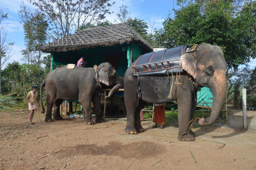 Karolio Barecko nuotr./ Drambliai paruošti jodinėjimui Keraloje, Indija