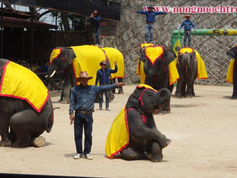 Asmeninė nuotr./Manote, šis dramblys atlieka triuką su malonumu?