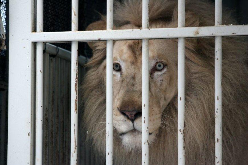 Vienas iš kelių Lietuvoje viešinčių Baltųjų liūtų