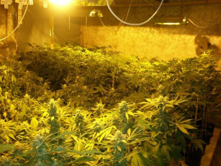 Kanapių plantacija vešėjo Kaišiadorių rajone esančiame vienkiemyje