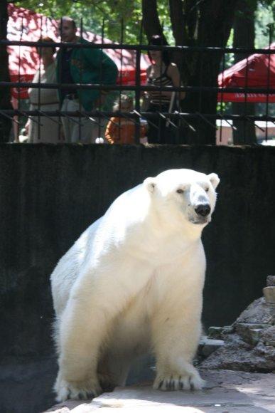 Baltasis Kauno zoologijos sodo lokys