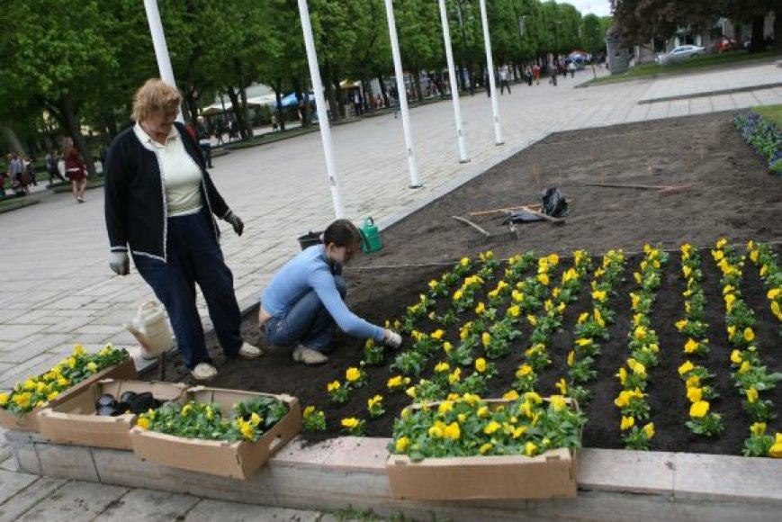 Vagys pasisavina vos pasodintas gėles