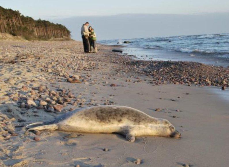 Negyvas ruoniukas buvo aptiktas krante prie Olando kepurės.