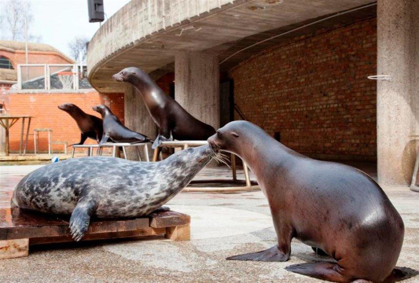 Žiūrovai nuo šio savaitgalio Jūrų muziejuje išvys ir tik praėjusiais metais gimusio ruoniuko pasirodymus.