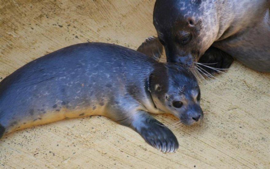 Jūrų muziejuje gimė ruoniukai