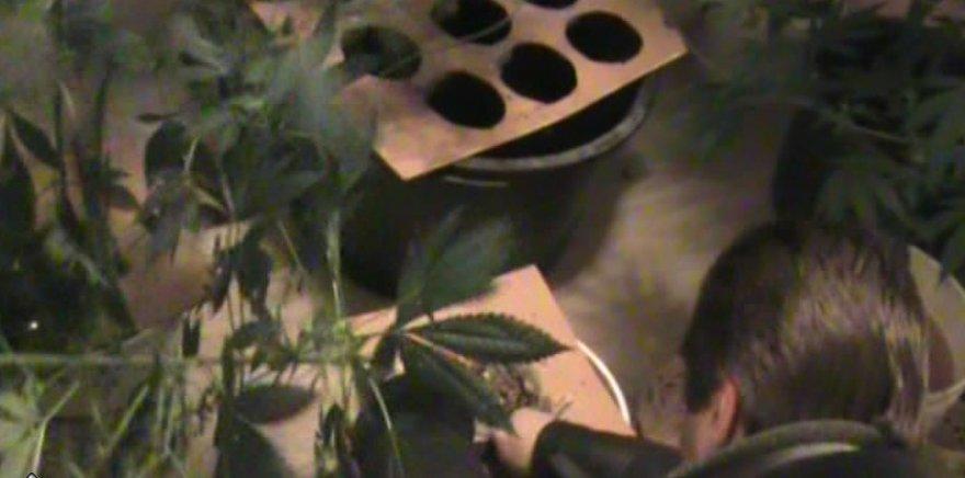 Šilutiškiai buvo užveisę narkotikų plantaciją.