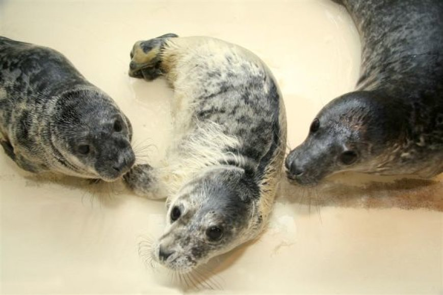 Dabar, be dviejų, gimusių muziejuje, yra slaugomi ir globojami net šeši Baltijos pilkieji ruoniai, atvežti iš jūros pakrančių.