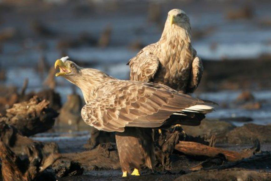 Kuršių nerijoje gyvena šešios jūrinių erelių poros. Jų jaunikliai žieduojami gegužę ir birželį.