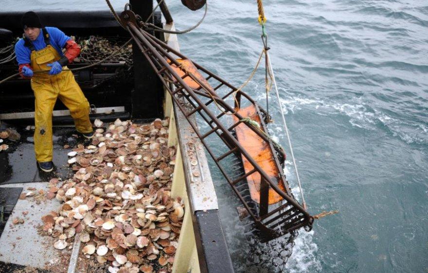 Jūrų šukutės sukėlė karą tarp žvejų.