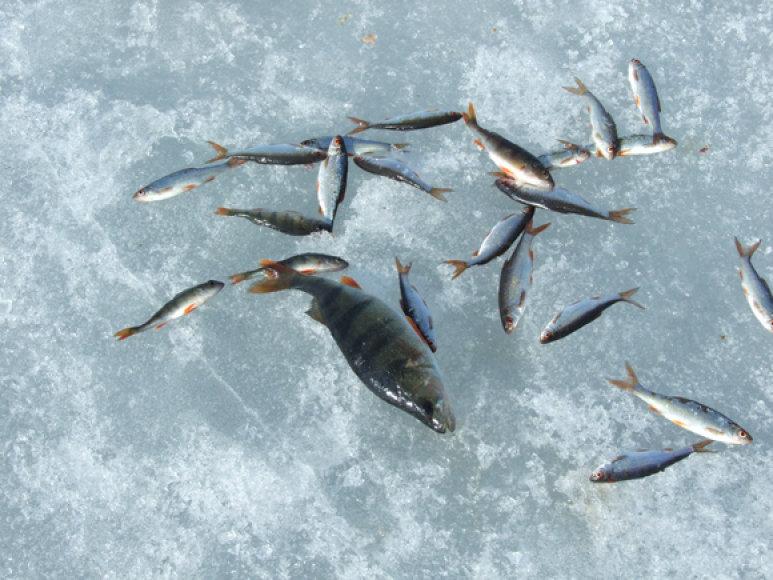 Kuojos – viena iš mūsų vandenyse gyvenančių žuvų rūšių, kurios plauko tuntais, todėl vienoje eketės jų galima sugauti dešimtimis