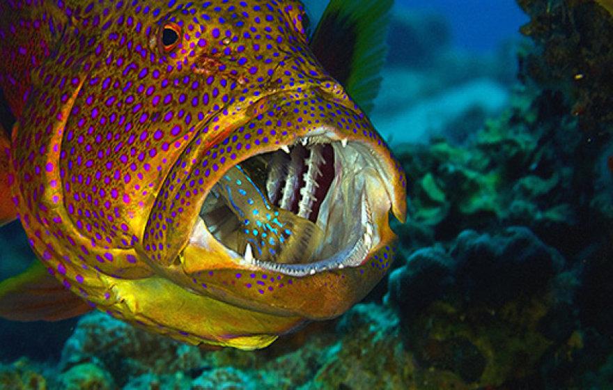 Mokslininkai teigia, kad, išnykus raudoniesiems ešeriams, išnyks ir krevečių rūšis - lobsteriai