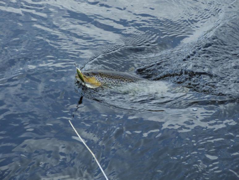 Jei paskutinę savaitę prieš draudimą vis tik meškeriosite upėtakius, paleiskite visas žuvis, kad jos galėtų dar kartą išneršti