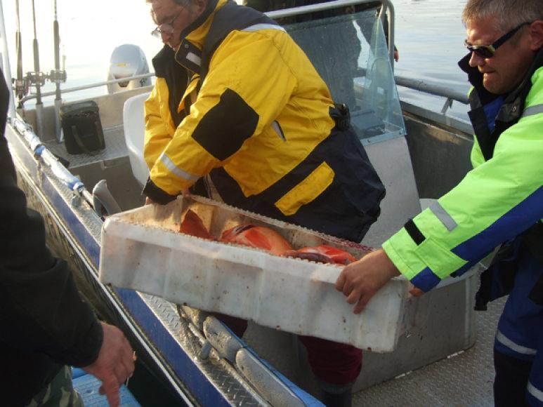Kol neprišaudai pilnos dėžės įvairiausių žuvų, patartina pagalvoti, kad laimikį, parvykus į krantą, reikės ilgai ir nuobodžiai darinėti.