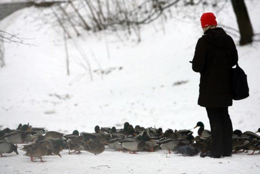 Kol vandens telkiniai neužšalę, nereikėtų skubėti lesinti vandens paukščių – jie dar patys gali susirasti maisto.