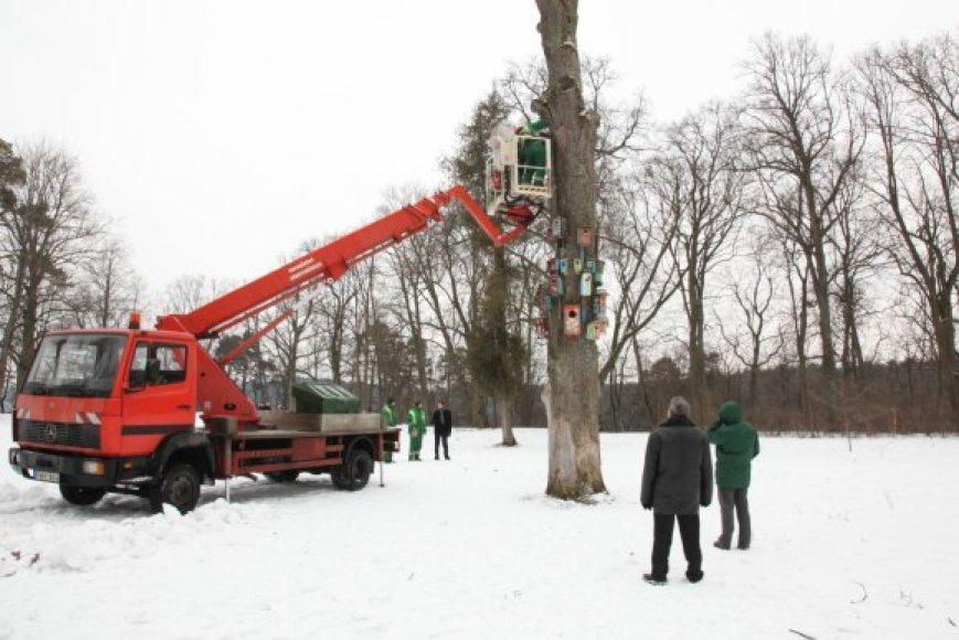 Medžio uokse žiemojimui buvo apsistoję rudieji nakvišos – didžiausi šalies šikšnosparniai, įrašyti į Lietuvos raudonąją knygą.