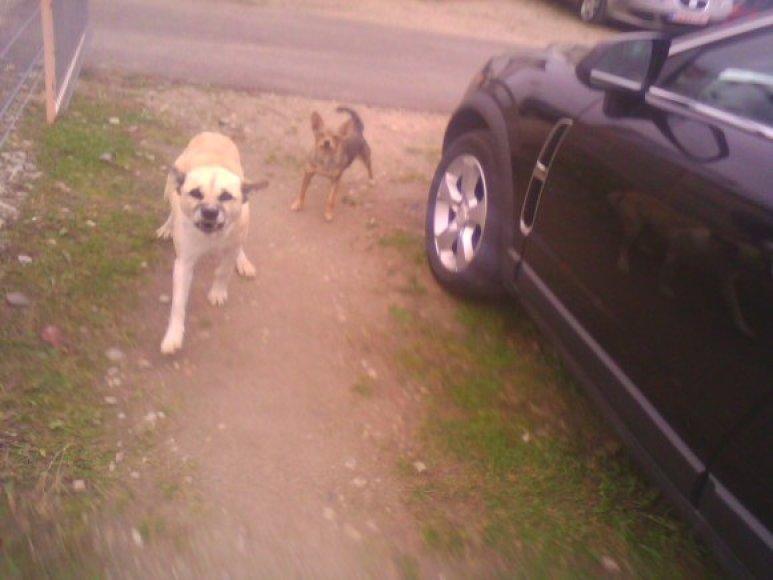 Gariūnų autoverslo centre siautėja benamiai šunys.