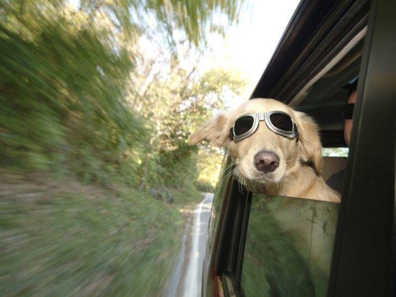 Šis šuo automobilyje keliauja pažeisdamas Naujojo Džersio valstijos įstatymus