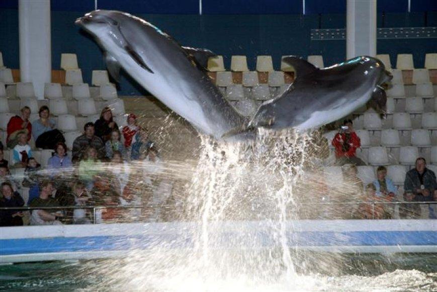 Kol vyks delfinariumo rekonstrukcija, delfinai kartu su savo treneriais leis laiką Graikijoje, Atikos zoologijos sode.