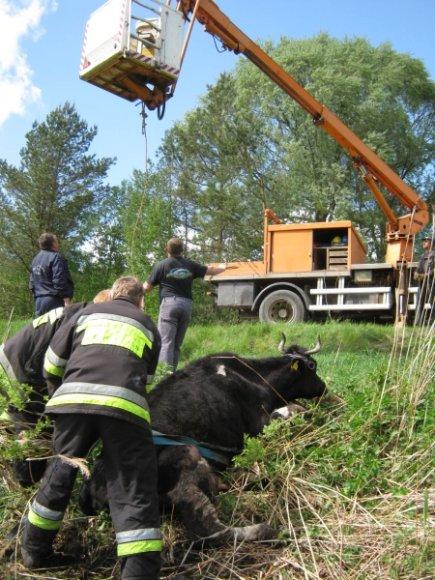 Išsekusios karvės gelbėjimo akimirka