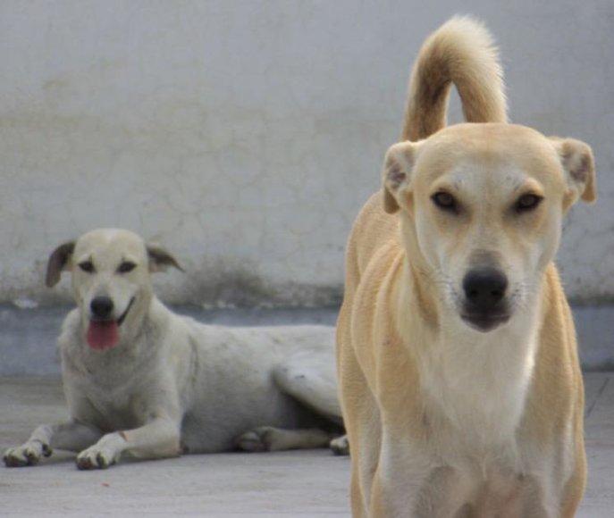 Šunys Indijoje