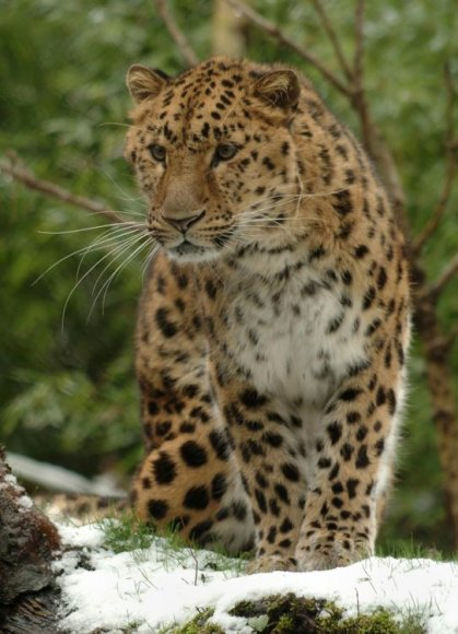 Itin retai gamtoje sutinkamas Amūrinis leopardas