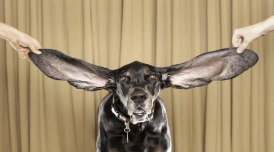 Harboro kairioji ausis yra 31,12 centimetro, o dešinioji 34,19 centimtero ilgio.