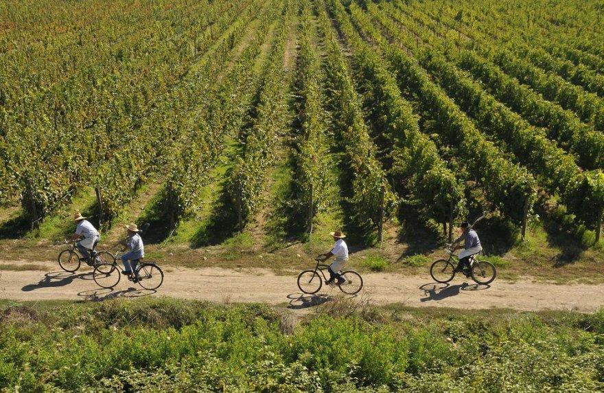 Torres vynuogynai