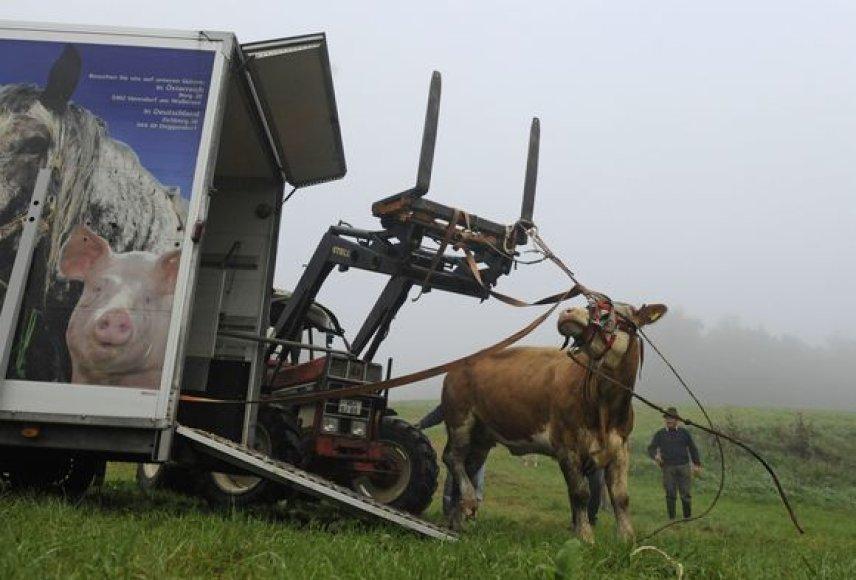 Sugauta karvė Yvonne