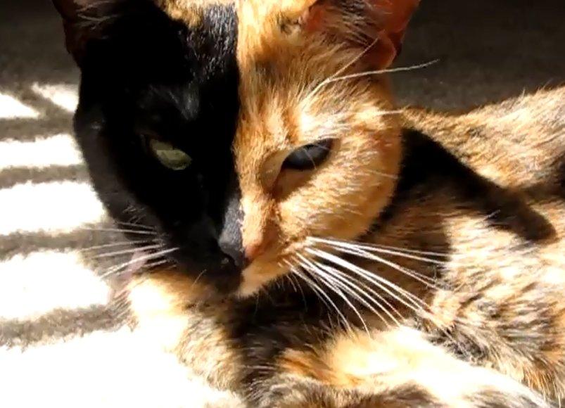 """""""Dviveidė"""" katė Venus"""