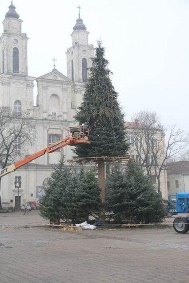 Kaune statoma Kalėdų eglutė