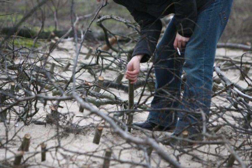 Dėl žabtvorių kopos atgijo, tačiau poilsiautojams tenka rankioti styrančius kuolus