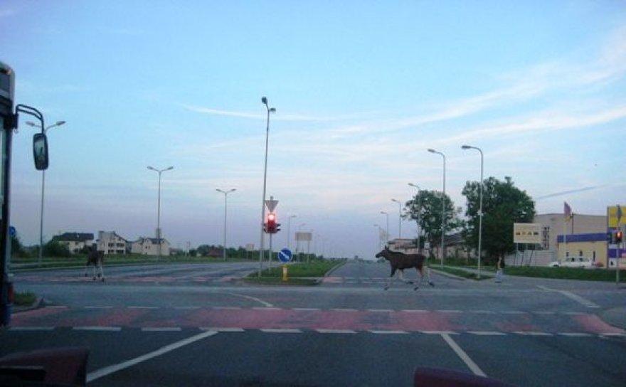 Briedžių pora šiaurinėje miesto dalyje pernai sukėlė nemažai triukšmo vairuotojams.