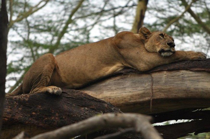 Liūtė ilsisi ant šakos. Nakuru parko liūtai laipioja medžiais.