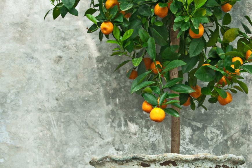 Mandarinų medis