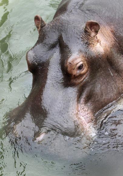 Hipopotamo patelė Dona