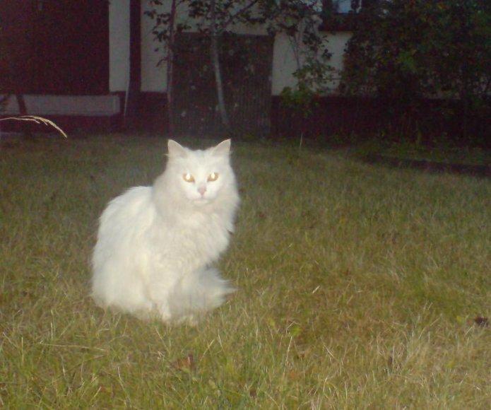 Gražuolė angorinė katė – be namų