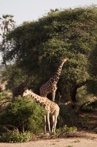 Vida Press nuotr./Ryškiaspalvė Kenija