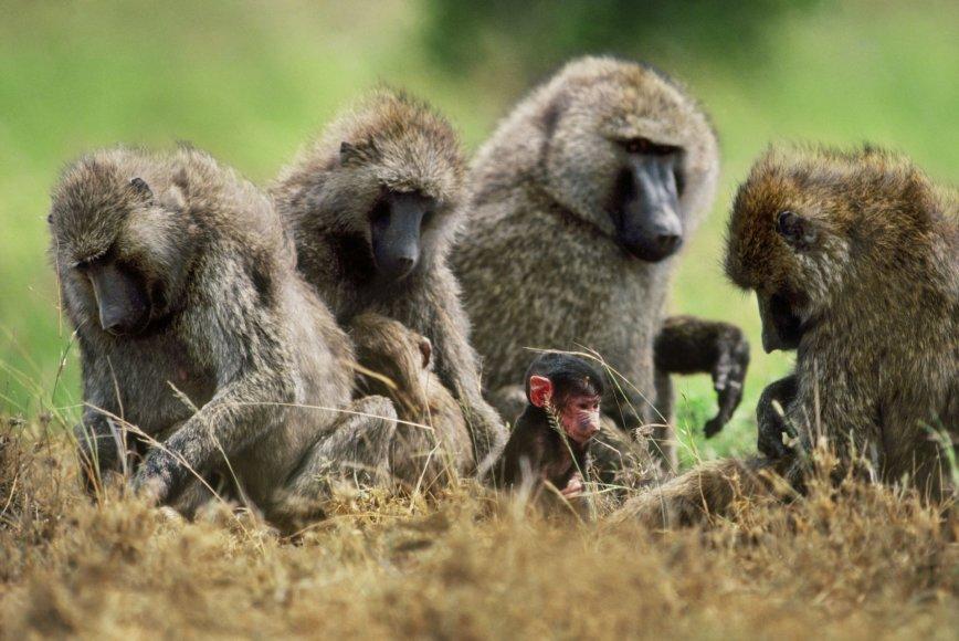 Pavianų šeima