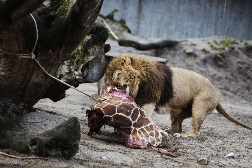 Nušauta žirafa sušerta kitiems zoologijos sodo žvėrims