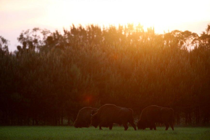 Belovežo giria – vienintelė pirmykštė giria išlikusi Europoje, jai daugiau nei 6000 metų