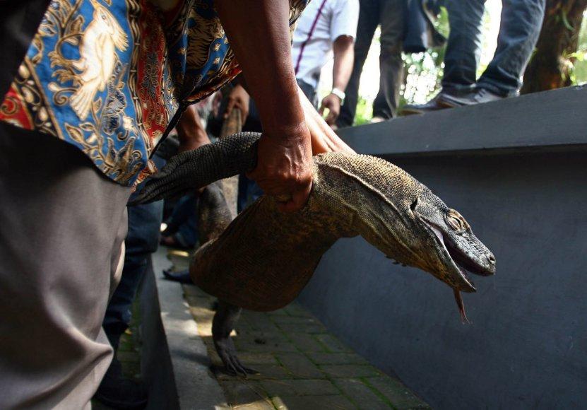 Miręs Komodo drakonas