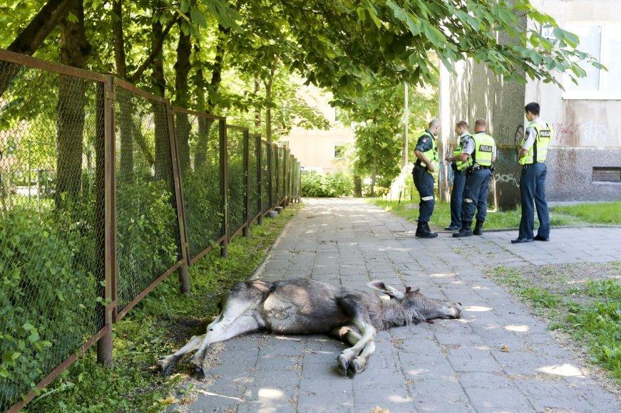 Vilniuje žuvo į gyvenamąjį kvartalą atklydęs briedis